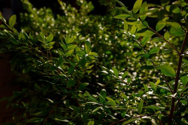 Folhagem densa das folhas verdes iluminadas pelo sol, fundo de tons verdes escuros.