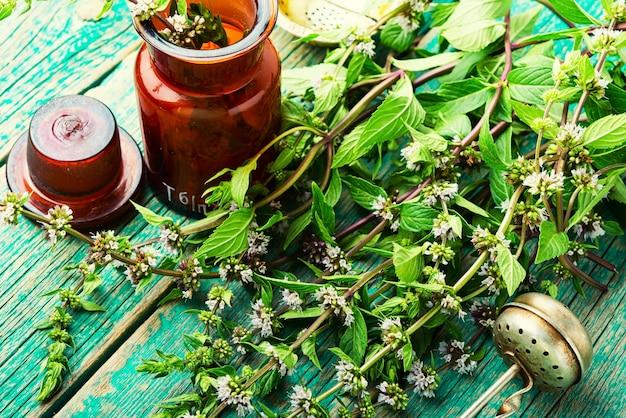 Folhagem fresca florescendo com hortelã, folhas de hortelã-pimenta. ervas homeopáticas