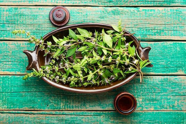 Folhagem fresca florescendo com hortelã, folhas de hortelã-pimenta. folhas de hortelã na medicina herbal