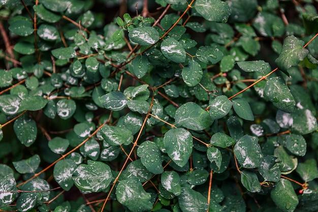 Folhagem grossa e molhada em um arbusto na floresta. fundo. espaço para texto.