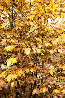 Folhagem multicolorida em árvores de outono, close-up de uma parte de uma árvore de folha caduca na natureza real com cor natural