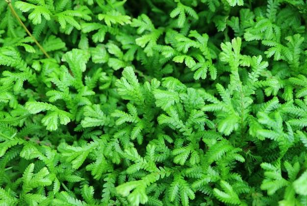 Folhagem verde dos arbustos perenes