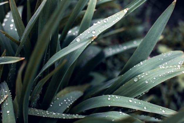 Folhagem verde escura de uma planta cintilante com pingos de chuva. chave baixa, plano horizontal ou banner