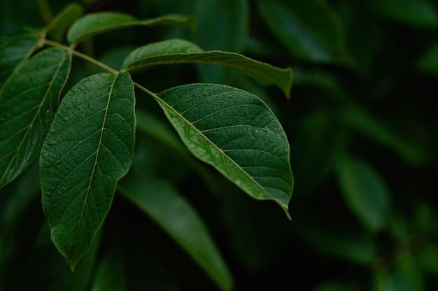 Folhagem verde escura de uma planta saudável com folhas brilhando de gotas de chuva.