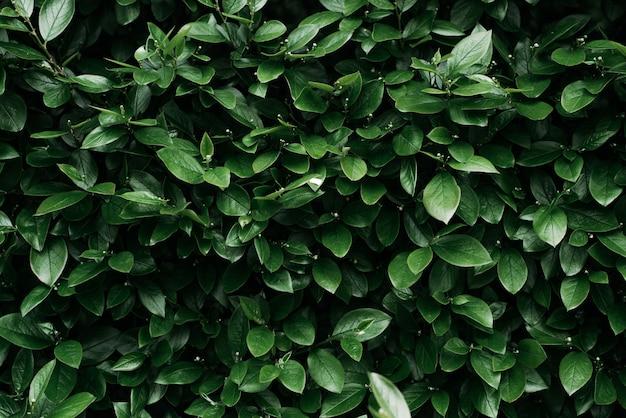 Folhagem verde exuberante. papel de parede de fundo natural. tom verde escuro. hedge, grande plano.