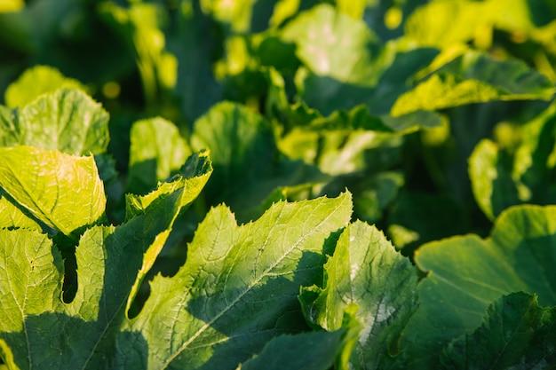 Folhagem verde exuberante sob o sol forte. folhas de abóbora ou abobrinha. fundo natural e textura.