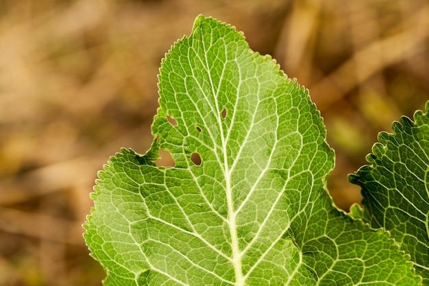 Folhagem verde, folhas jovens de raiz forte no verão. fotografado de perto em um campo de fazenda