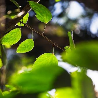 Folhas agradáveis de álamo tremedor