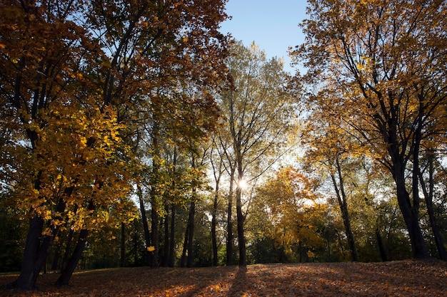 Folhas amareladas em árvores de bordo no outono.