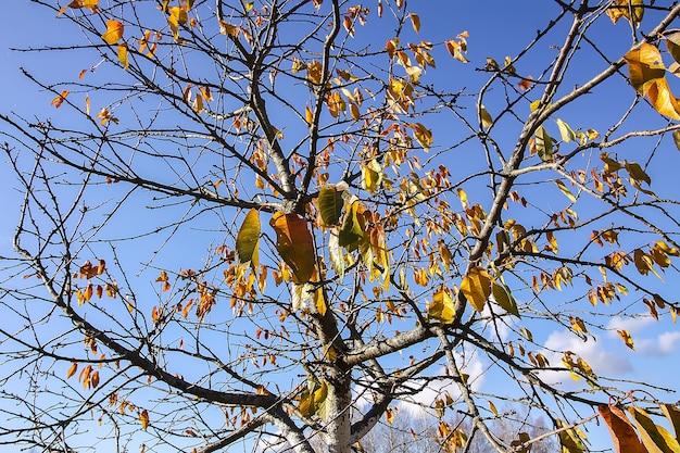 Folhas amarelas brilhantes em galhos de árvores no fundo do céu azul na floresta de outono.