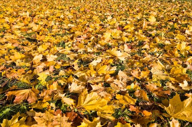 Folhas amarelas das árvores de bordo caídas na grama verde