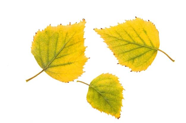 Folhas amarelas de bétula isoladas em parede branca