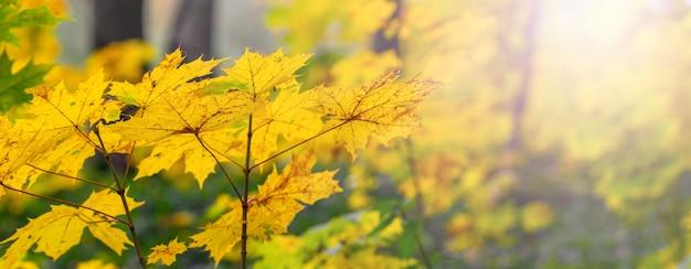 Folhas amarelas de bordo de outono na floresta em dias ensolarados