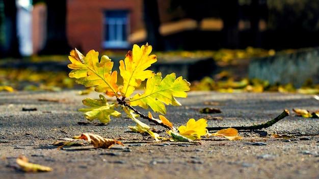 Folhas amarelas de carvalho no outono no beco do parque em um dia ensolarado