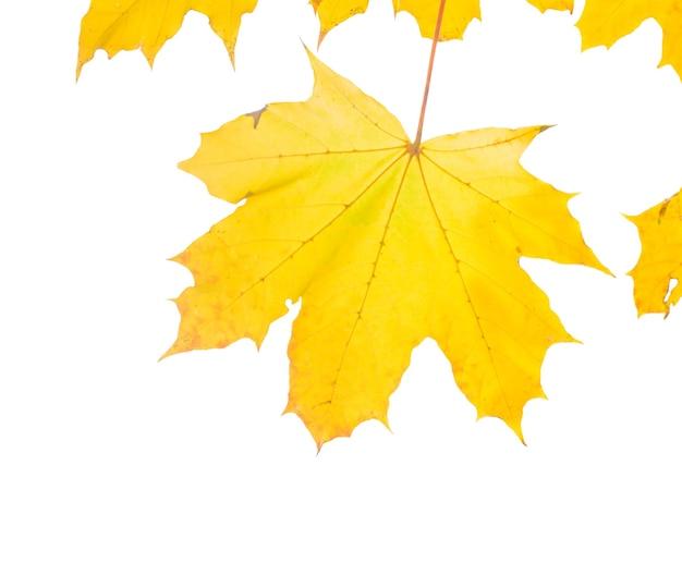 Folhas amarelas do bordo isoladas no fundo branco