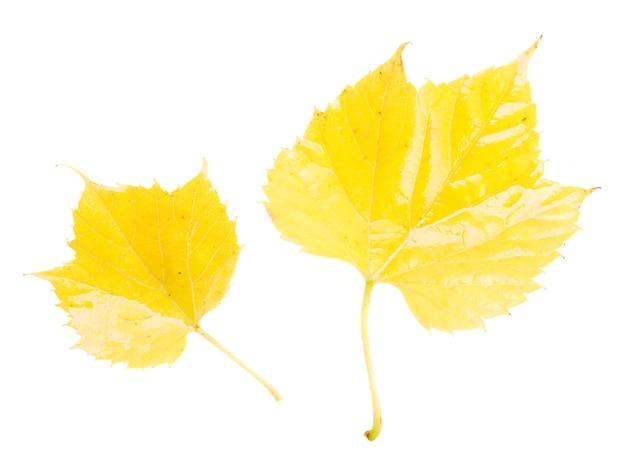Folhas amarelas do outono isoladas no fundo branco