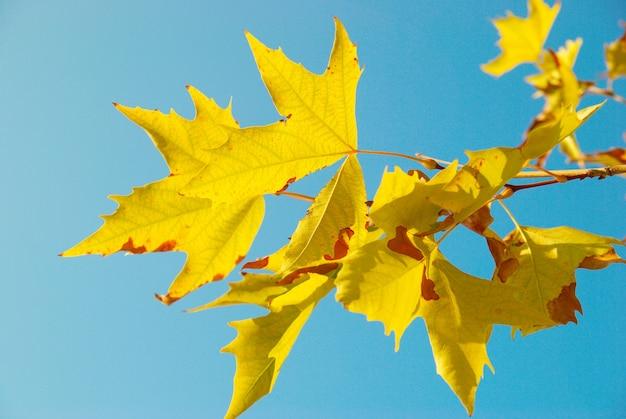 Folhas amarelas do outono.