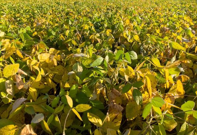 Folhas amarelas e verdes de amadurecimento da soja no campo da agricultura.