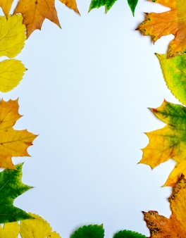 Folhas amarelas e verdes de maple em um fundo branco