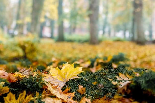 Folhas amarelas fecham no parque da cidade. dia de outono na floresta