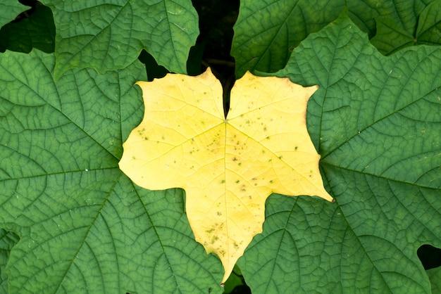 Folhas amarelas nas folhas verdes