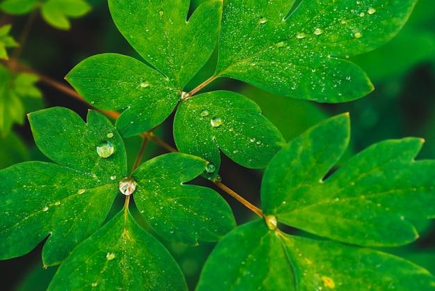 Folhas bonitas do verde vívido do dicentra com close-up das gotas de orvalho com espaço da cópia. vegetação pura, agradável e agradável, com gotas de chuva à luz do sol. pano de fundo de plantas texturizadas verdes em tempo de chuva. relva.