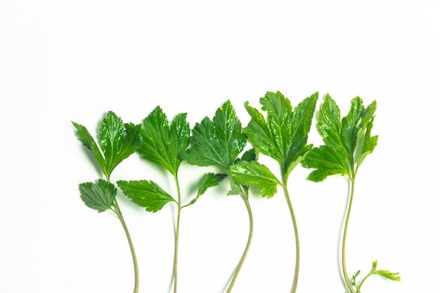 Folhas brancas de artemísia