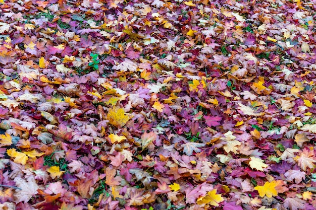 Folhas caídas coloridas, deitado no chão no parque, fundo ao ar livre bonito outono, foco seletivo