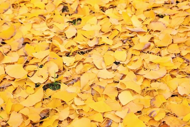 Folhas caídas da árvore de gingko no parque