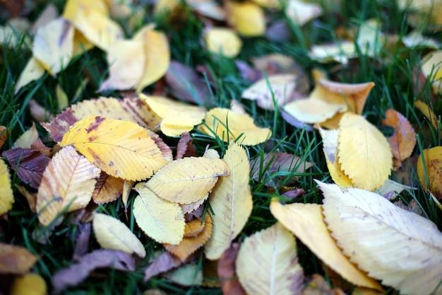 Folhas caídas de árvores, folhas de outono na grama verde