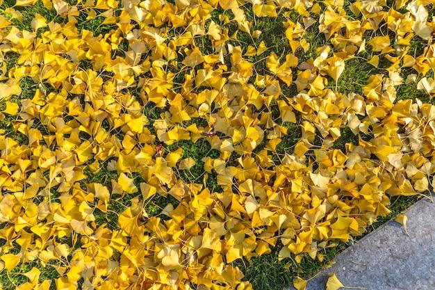 Folhas caídas de árvores ginkgo na grama no parque de outono