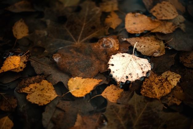 Folhas caídas de bétula flutuando na poça. superfície outonal.