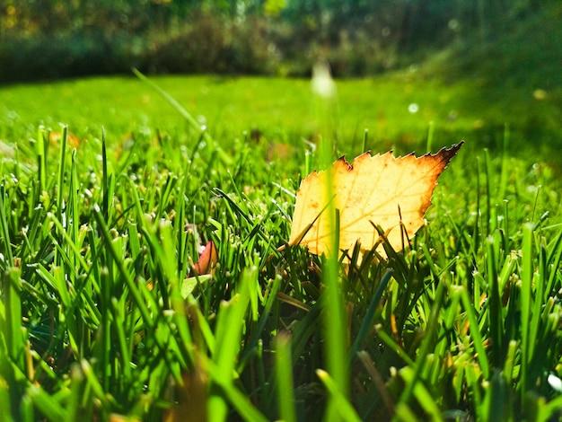 Folhas caídas de outono em gras close-up.