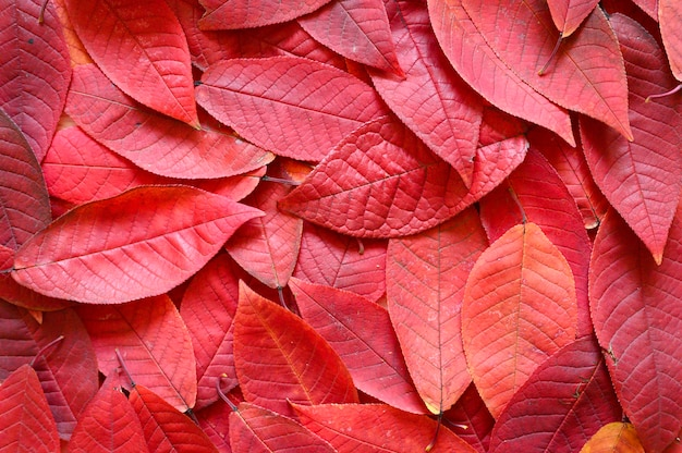Folhas caídas de outono vermelhas de cerejeira