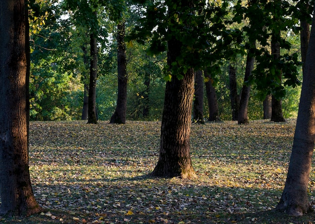 Folhas caídas na grama na temporada de outono no parque onde crescem árvores de folha caduca, close-up em clima ensolarado de outono