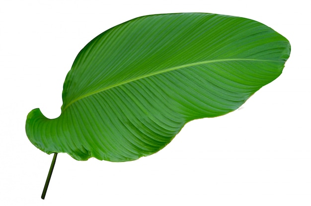 Folhas calathea ornata pin listra fundo branco isolado