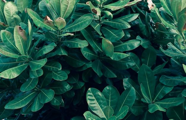 Folhas calathea ornata pin stripe fundo azul