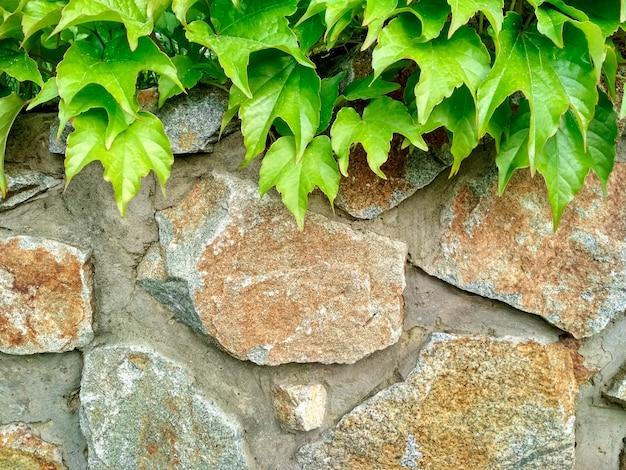 Folhas coloridas brilhantes de hera de uvas bravas na pedra.