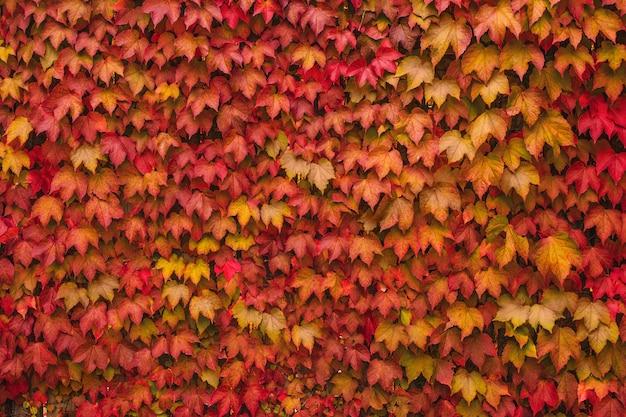 Folhas coloridas de uvas bravas na parede natureza outono fundo