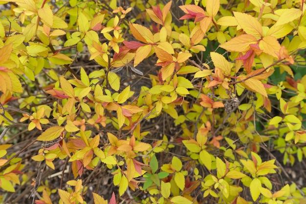 Folhas coloridas em um arbusto de spiraea japonesa