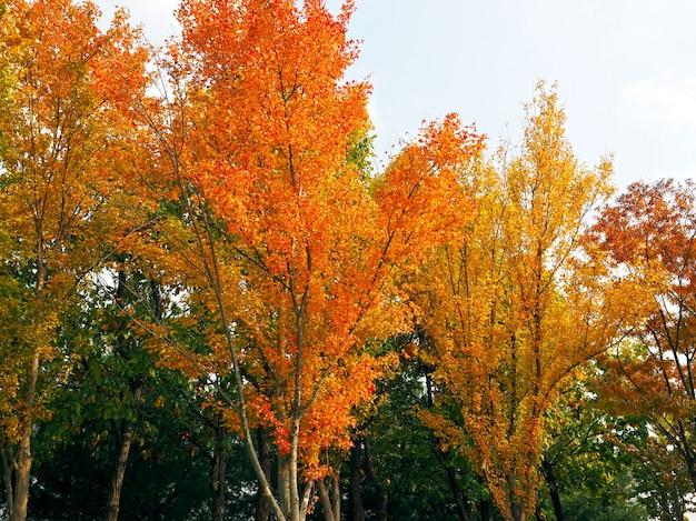 Folhas coloridas (laranja, amarelas e verdes) nas árvores no outono com fundo branco do céu