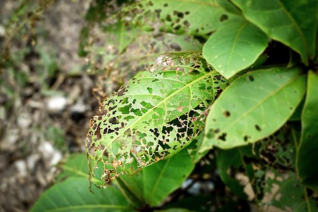Folhas comidas por pragas de insetos