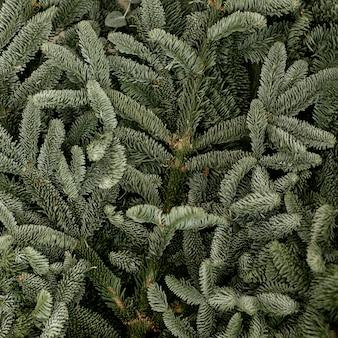 Folhas congeladas de pinho verde close-up