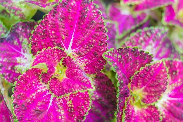 Folhas cor-de-rosa e verdes da planta de coleus (foco macio)