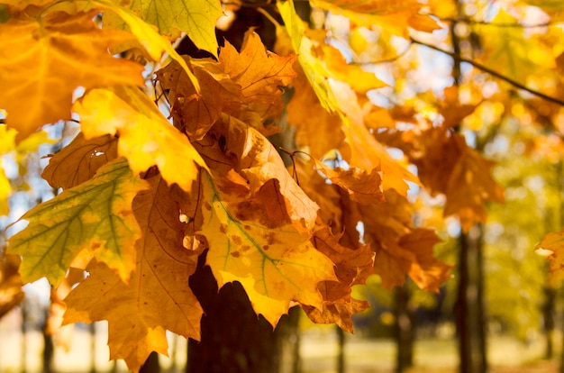Folhas da árvore das cores do outono no parque, vista próxima. papel de parede da natureza