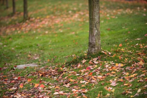 Folhas da árvore de bordo caídas na grama