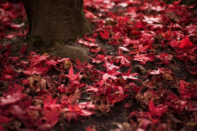 Folhas da árvore de bordo caídas no chão