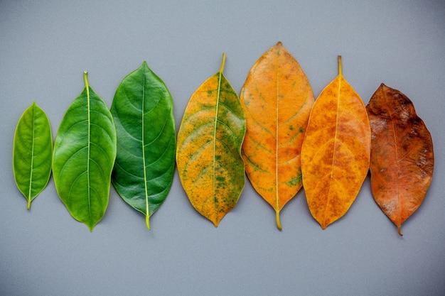 Folhas da idade diferente da árvore de fruto do jaque no fundo cinzento.