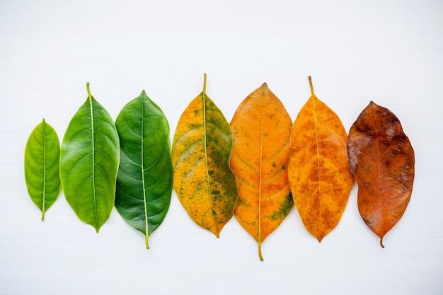 Folhas da idade diferente da árvore de fruto do jaque no fundo de madeira branco.