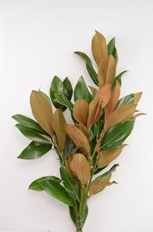 Folhas da magnólia no fundo branco.